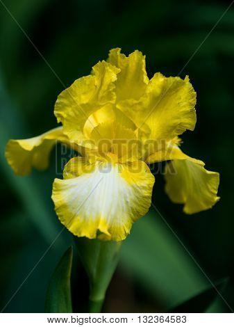Close up of yellow Intermediate Bearded Iris Flower 'Bottled Sunshine' in garden.