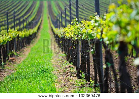 Vineyard landscape, sunny summer day on vineyards