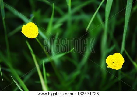 Yellow flowers on swamp, selective focus, summer time