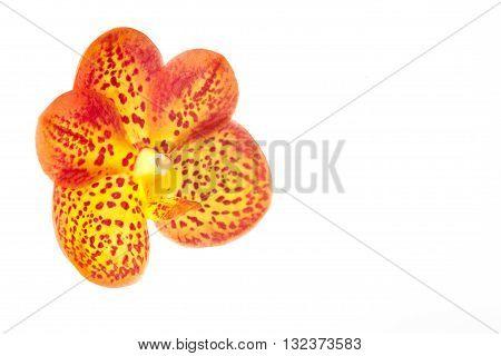 orange orchid flowers isolated on white backgroun