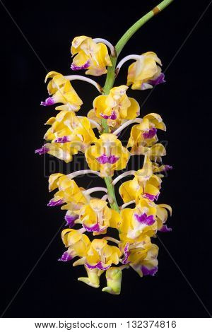 orange orchid flowers isolated on white backgroun.