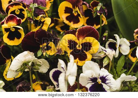 Yellow-purple and white violets on the floral lawn
