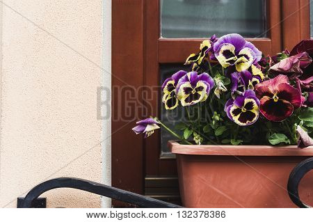 flowers of violets in a flower pot on the window