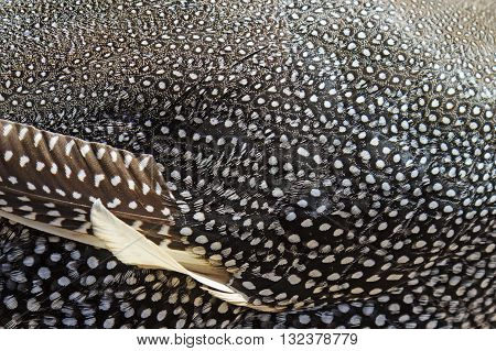 guinea fowl feather texture, African bird piebald color