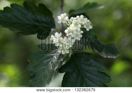 Flowers of a wild service tree (Sorbus terminalis).