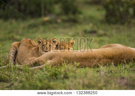 Two baby lions are playing and looking curiously. Two baby lions are playing on the grass. They are looking somewhere curiously. They are lying down. Their eyes and ears can seen. Their mother is lying down. Its back can seen.