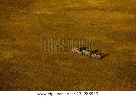 Medium group of elephant walking at Okavango Delta. A group of elephant walking at Okavango Delta. There are seven elephant. Some of them are infant and others are adult. Their shadows can seen. Aerial photography. It's day time. Elephants walking on brow