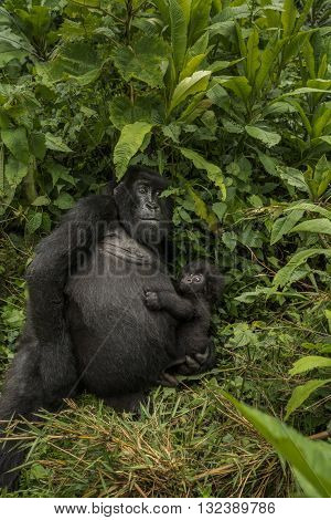 Female mountain gorilla holding her baby. Female mountain gorilla holding her baby and looking to camera. She is sitting in the middle of leaves. The baby nestling to his mother. The baby gorilla is looking like bewildered. His eyes wide open.