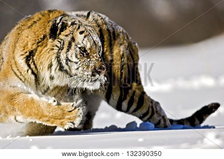Amur tiger is turning back with entire body for hunting. An adult male amur tiger is turning back with entire body. He is preparing for hunting. His body shaped like curve. His entire body can seen clearly.
