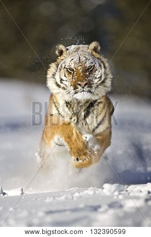 An adult male Amur tiger is running on the snow with entire body. He's jumping. He is looking strong, proudly and focus to the target. It's a front view. His forelegs are lifted. Snowflakes are flapping around him and hitting his face and body. The photo