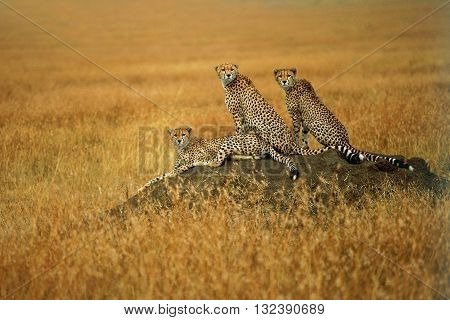 Group of adult cheetah watching for hunting on the anthill. A group of cheetah are sitting on anthill for preying. Three cheetah are watching for hunting. The background color is yellow.