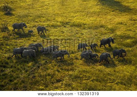 Elephant family is walking at Okavango Delta. Big group of elephant walking at Okavango Delta. Some of them are infant and others are adult. Their shadows can seen. Aerial photography. It is day time.