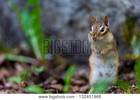 Red Squirrel in a Boreal forest in northern Quebec. The red squirrel or Eurasian red squirrel is a species of tree squirrel. The red squirrel is an arboreal, omnivorous rodent. poster