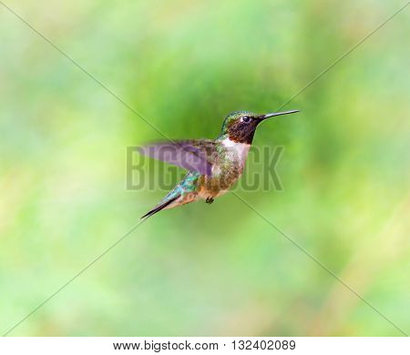 Male Ruby Throated Humming bird in a boreal forest in Northern Quebec after its long migration north. Very small hummingbirds with a lot of fight to do the long trip from the south.