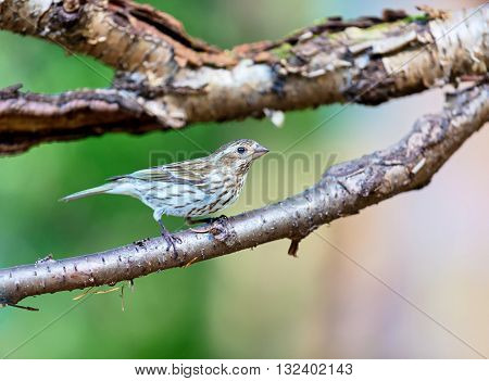The purple finch female are a genus, of perching birds in the finch family . Most are called