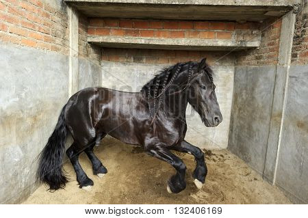 Horse is a powerful majestic stallion jumping in his confined stall.