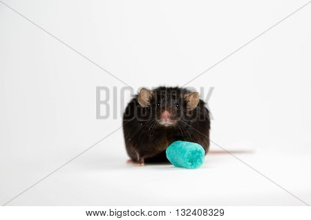 laboratory obese mice induced by junk food poster