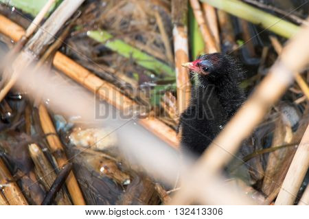 Nestling of common moorhen or Gallinula chloropus or swamp chicken on the nest