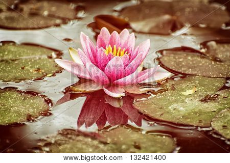 Beautiful purple water lily - Nymphaeaceae - in the garden pond. Warm yellow photo filter. Seasonal natural background. Beauty in nature.