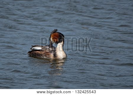 Great crested grebe or Podiceps cristatus on the water