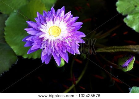 Purple-white lotus and yellow pollen with Guppy fish in water. Focus on yellow pollen.