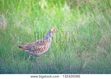 Closeup grey partridge or Perdix in grass in meadow