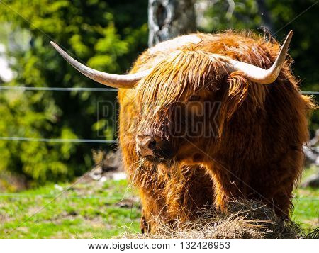 Scottish highland cow with long horns eats in the farm