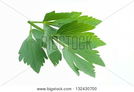 Close-up fresh lovage isolated on white background