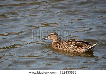 Female of wild duck or mallard or Anas platyrhynchos