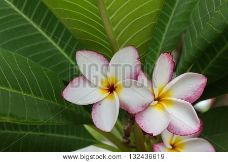 Beautiful sweet yellow pink and white flower plumeria or frangipani and fresh green leaf in happy morning mood and blank space area, romantic and soft mood plumeria or frangipani tree, tropical nature view plumeria or frangipani background