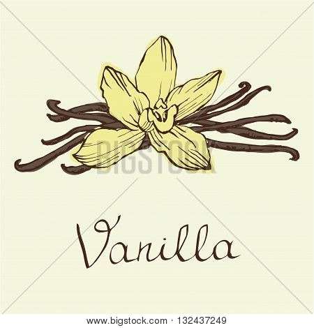 Vanilla beautiful flowers and beans vector. Hand drawn sketches vector illustration on white background in vintage style.