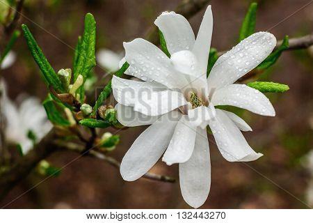 Creamy blossom of Magnolia tree. Beautiful creamy magnolia flower after the rain. Magnolia flower in Botanic garden. Spring flowers in the Botanical Garden.