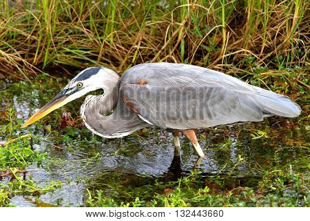 a bird in the natural park of EVERGLADES, FLORIDA , USA