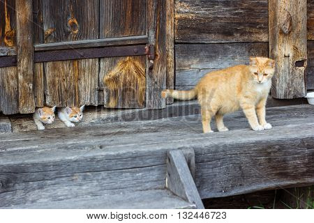 Red and white cat with small kittens against a wooden wall of old wooden hut in a countryside.Cats family. Rustic style. Selective focus.