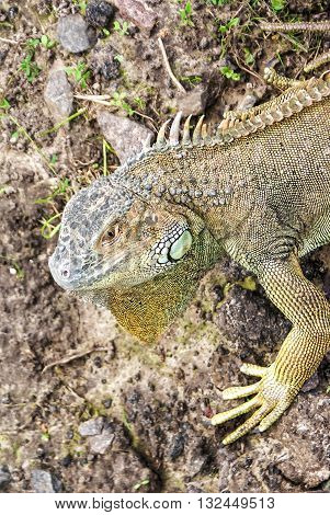 Grand Cayman Blue Iguana, an endangered species of lizard. Portrait of green iguana. Iguana wildlife. Closeup of a green Iguana. Green Iguana Reptile. poster