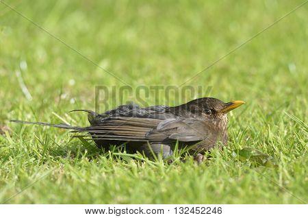 A Young Blackbird on Lawn - Turdus merula