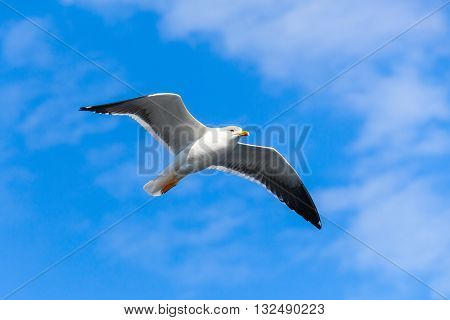 White Seagull Flying In Blue Sky, Closeup Photo