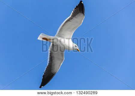 Big White Seagull Flying In Clear Blue Sky