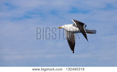 Great Black-backed Gull. White Seagull Flying
