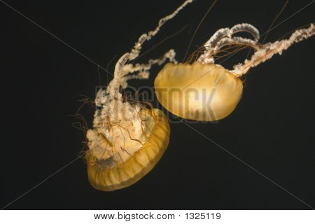 Sea Nettles 1