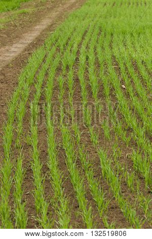Farm field sown cereals, natural light, landscape