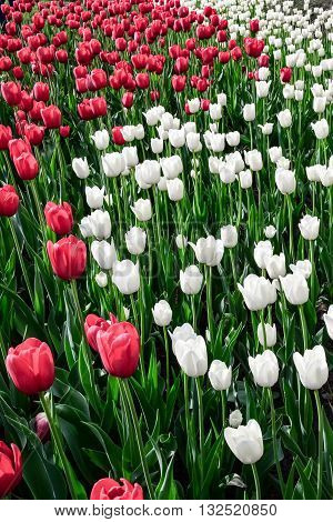 Tulip festival in Ottawa Canada in white,red and green