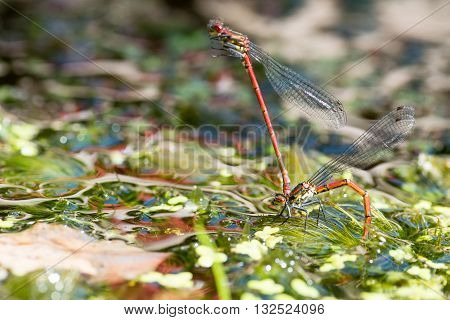 Large red damselfly (Pyrrhosoma nymphula) laying eggs. Male attached to female ovipositing under surface of water of pond