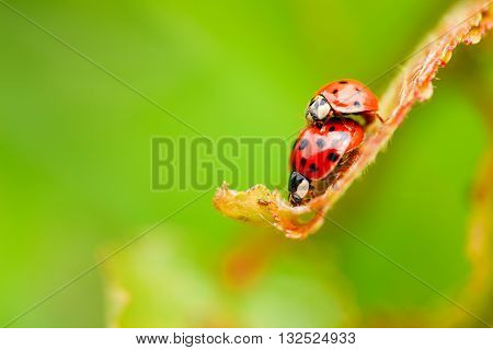 Two Copulating Ladybugs On Fresh Spring Leaf