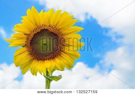 Yellow flower of the Sunflower or Helianthus Annuus blooming in the field on blue sky background