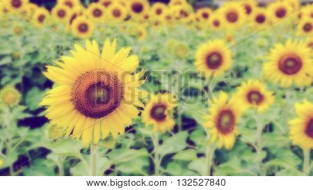 Vintage style many yellow flower blur and soft background of the Sunflower or Helianthus Annuus blooming in the field Thailand 16:9 wide screen