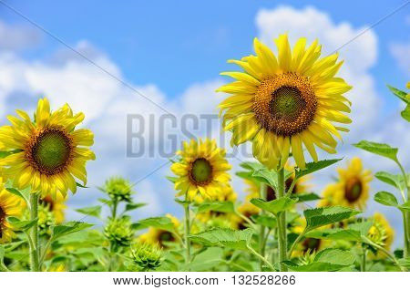 Many yellow flower of the Sunflower or Helianthus Annuus blooming in the field on blue sky and cloud background