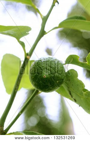 Lemon vegetable very fresh on tree I take a photo in my plant have blur background This is a new species of seedless lemons on white background blur.