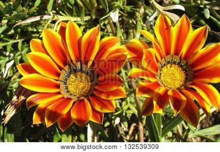 Spring Flowers, Orange And Yellow Gazanias, Botanical Garden, Cape Town South Africa