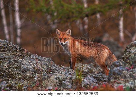 Red fox in autumn taiga